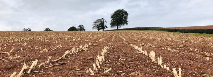 maize stubble
