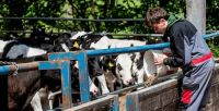 Afbeelding: Lackham students feeding calves