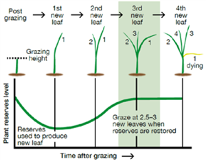 Afbeelding: Grass leaf life cycle