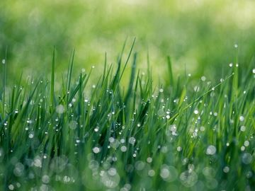 Get the grass growing by applying phosphate