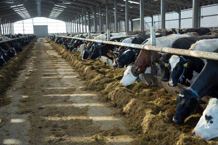 Afbeelding: Cows eating silage