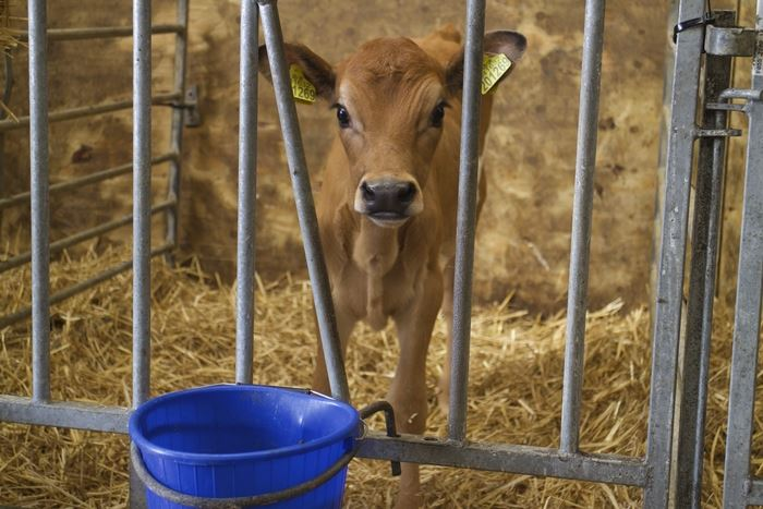 Calves are weighed and monitored