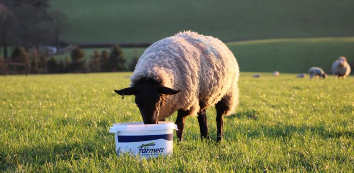 Sheep Magnesium Buckets