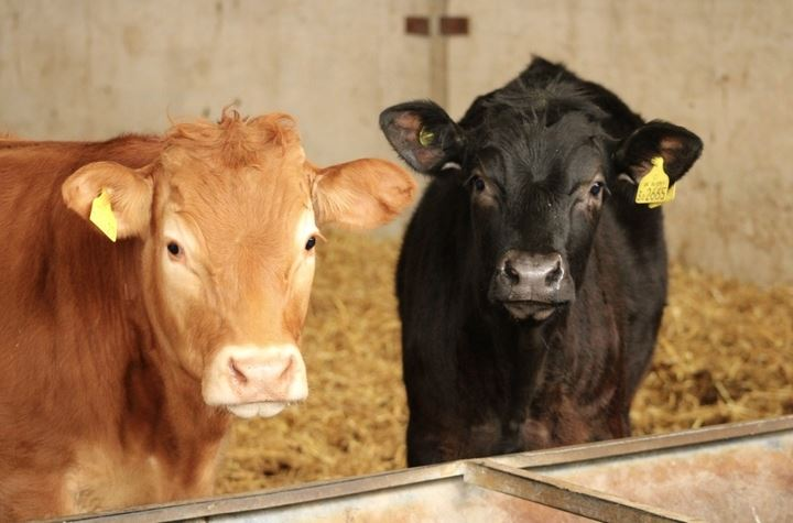 Growing beef cattle