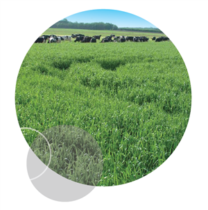 Afbeelding: forage rye