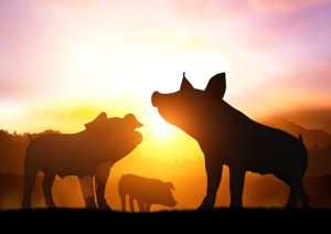 Mitigating summer heat on pig herds