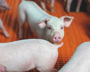 The circular route to sustainable pig diets