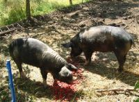 Afbeelding: pigs_rooting_small