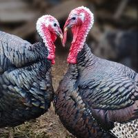 Afbeelding: 2 turkeys_118579531 edited
