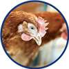 Afbeelding: chicken eating icon