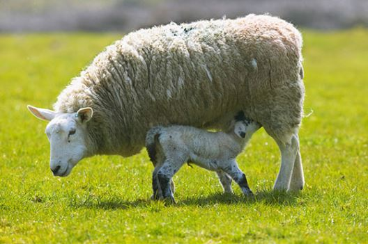 Sheep | ForFarmers UK